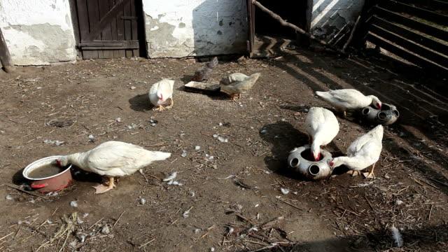 vídeos de stock e filmes b-roll de patos na quinta orgânica - campo murado