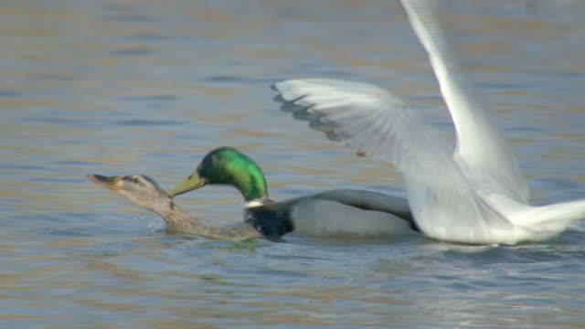 Ducks courtship display