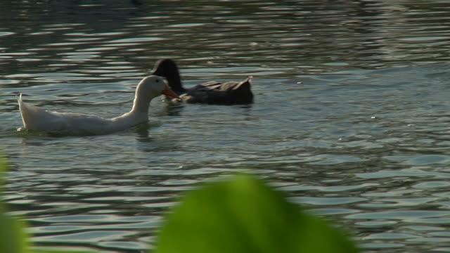 ducks profondità di campo hd 1080 p24 fase 1 - gruppo medio di animali video stock e b–roll