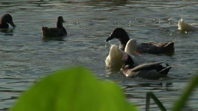 ducks profondità di campo hd 1080 p24 fase 2 - gruppo medio di animali video stock e b–roll