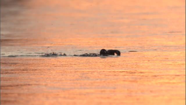 Ducks (Anatidae) dive and swim on lake at sunset, Yellowstone, USA
