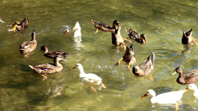 vídeos de stock e filmes b-roll de patos mergulho - parte do corpo animal