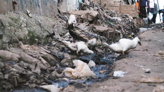 ducks eating trash - run down stock videos & royalty-free footage