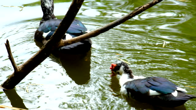 vidéos et rushes de nourrir les canards dans l'étang - se lisser les plumes