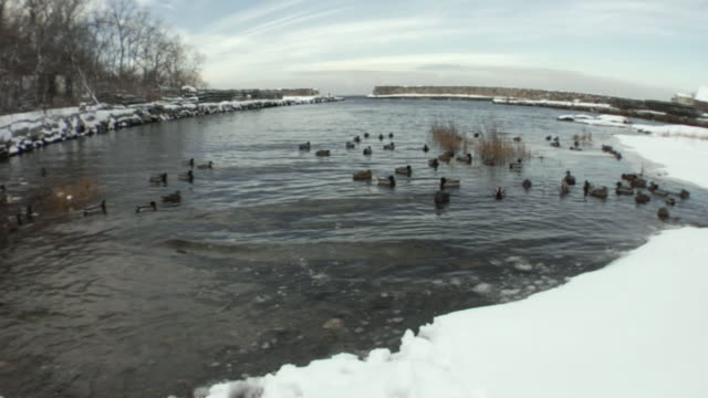 vídeos de stock e filmes b-roll de ws ducks floating on water in snowy pond/ black labrador retriever running into edge of water and scaring ducks away/ usa - water's edge