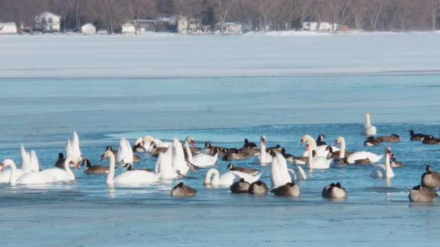 Ducks geese and swans in winter Lake Ontario
