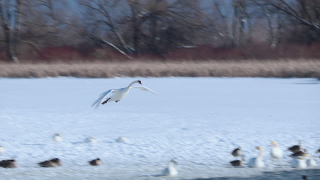 ducks geese and swans in winter lake ontario - ontariosee stock-videos und b-roll-filmmaterial