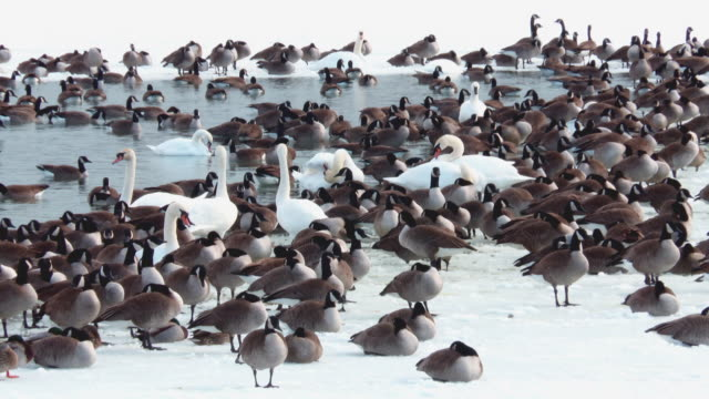 ducks geese and swans in winter lake ontario - mallard stock videos and b-roll footage