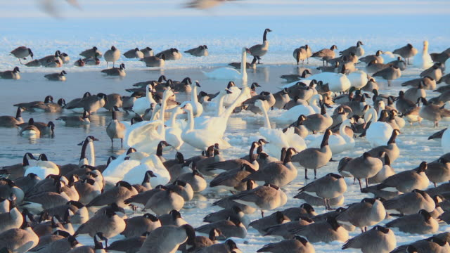 ducks geese and swans in winter lake ontario - duck stock videos & royalty-free footage