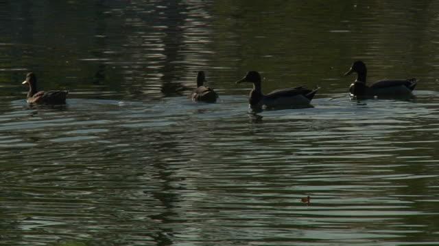 ducks hd 1080 p24 - gruppo medio di animali video stock e b–roll