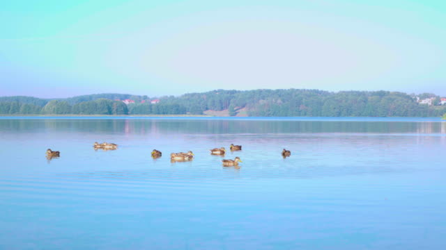 Troupeau de canards sur le lac, 4 k