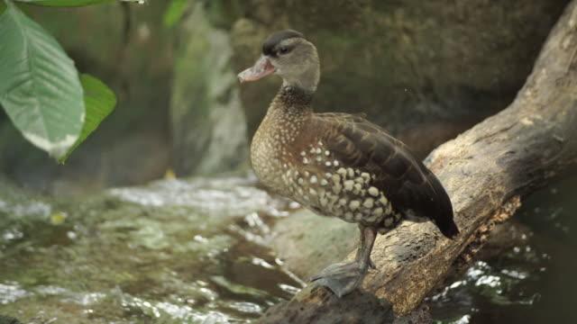 vidéos et rushes de canards dans une forêt - canard oiseau aquatique
