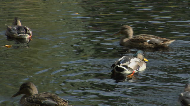 ducks in a pond. - female animal stock videos & royalty-free footage