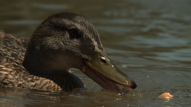 ducks in pond on september 30 2013 in los angeles california - duck stock videos & royalty-free footage