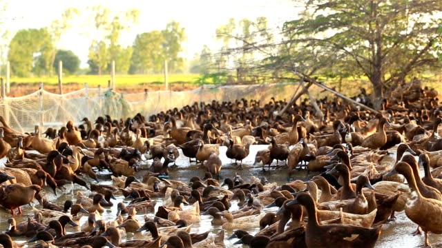 ducks in the farm - goose meat stock videos and b-roll footage