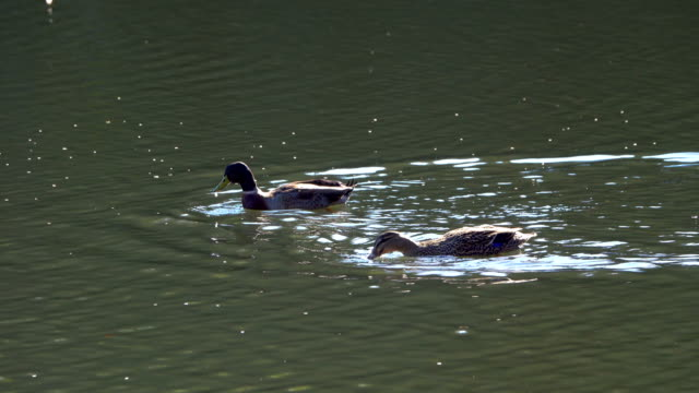 ducks in the park - pond stock videos & royalty-free footage