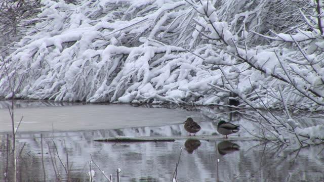 hd: ducks im winter - ente wasservogel stock-videos und b-roll-filmmaterial