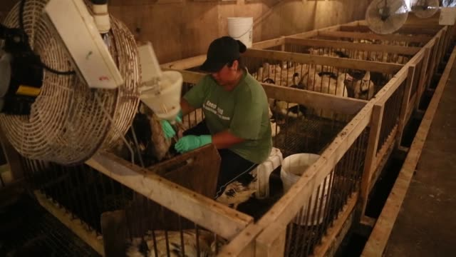 ducks inside pen enclosure as worker forcefeeds ducks with a long tube during gavage process in the production of foie gras / worker gavage feeding... - foie gras stock videos and b-roll footage