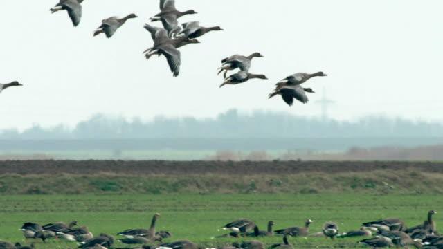 ducks landing - lake neusiedl - flock of birds stock videos & royalty-free footage