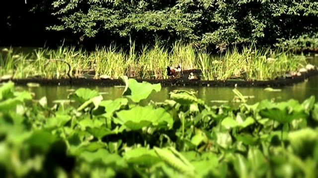 ducks on a lotus pond (anamorphic 16:9) - anamorphic stock videos and b-roll footage