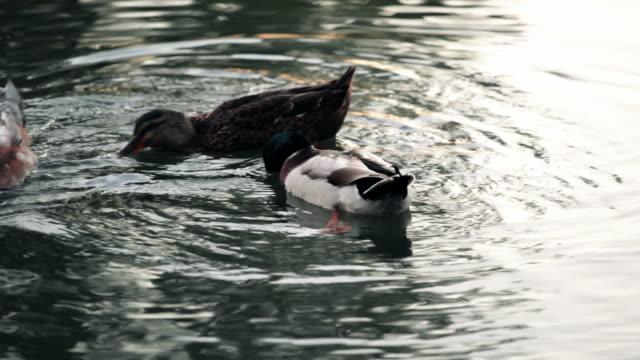 vidéos et rushes de ducks on a pond - petit groupe d'animaux