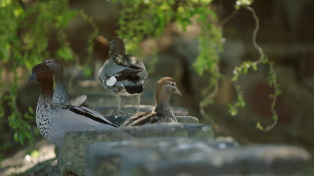 ducks on a stone embankment - pond stock videos & royalty-free footage