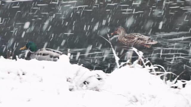 vídeos y material grabado en eventos de stock de patos en el río - área silvestre