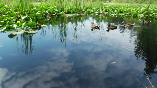 ducks paddle around a tranquil pond. - canada stock videos & royalty-free footage