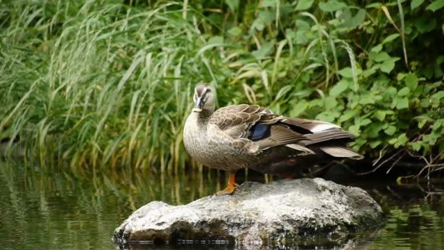 duck's preening: cleaning feathers and kicking bugs - vattenfågel bildbanksvideor och videomaterial från bakom kulisserna
