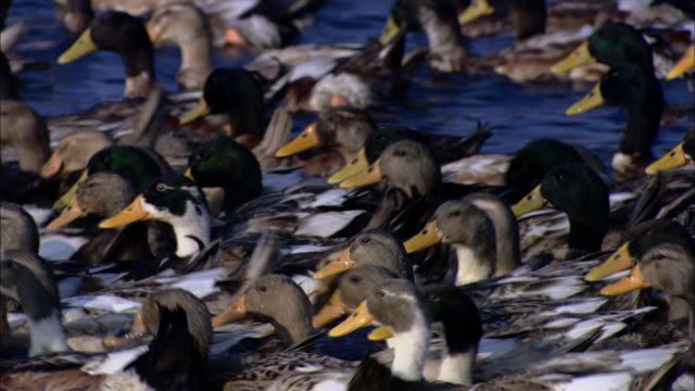 ducks swim in a lake. - duck bird stock videos & royalty-free footage