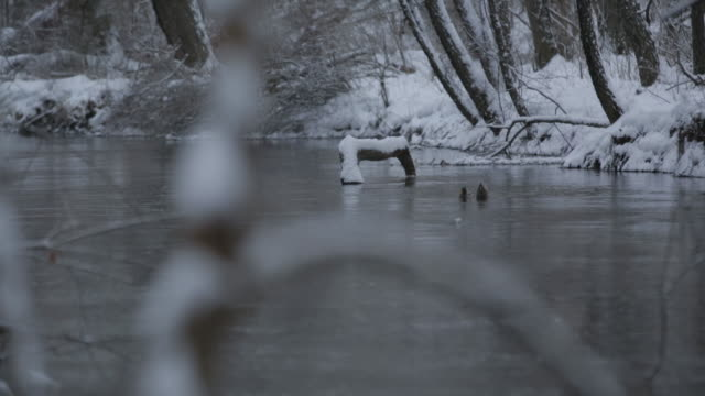 Ducks swim in a snow covered creek