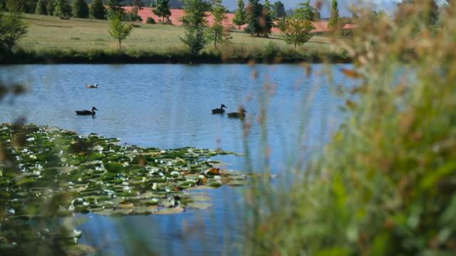 Ducks swim on a pond on a sunny day