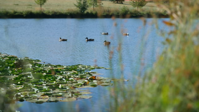 Ducks swim on a pond with water lilies