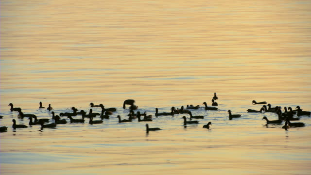 Ducks Swimming in Fatehsagar