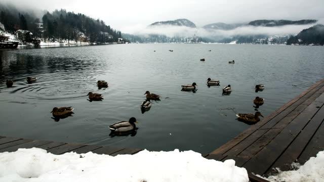 vídeos de stock e filmes b-roll de hd: patos nadando no lago bled - grupo médio de animais