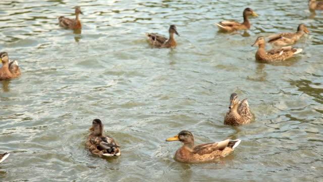 Plan moyen des canards nageant dans le lac