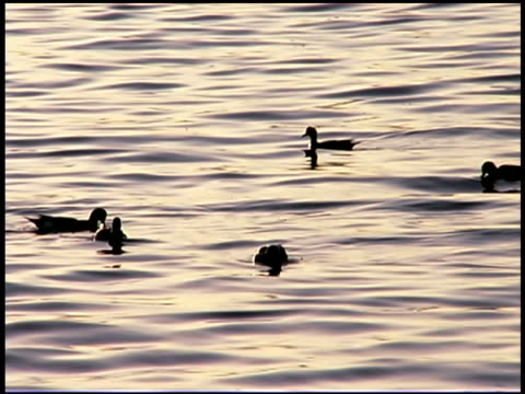 ducks swimming in water, puget sound, tacoma, washington - puget sound stock videos & royalty-free footage