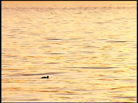 ducks swimming in water, puget sound, tacoma, washington - nordpazifik stock-videos und b-roll-filmmaterial