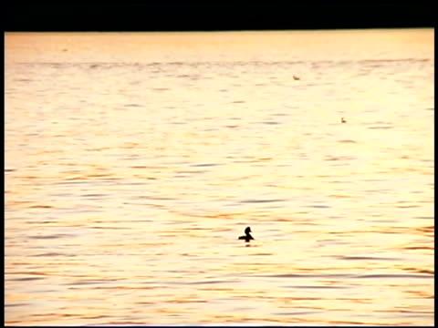 vídeos y material grabado en eventos de stock de ducks swimming in water, puget sound, tacoma, washington - estrecho de puget