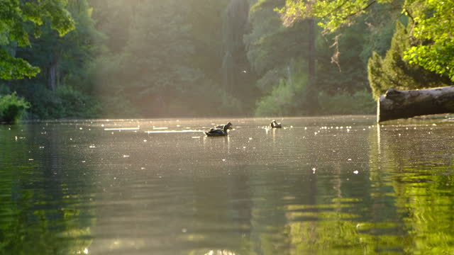 ducks swimming on the pond - pond stock videos & royalty-free footage