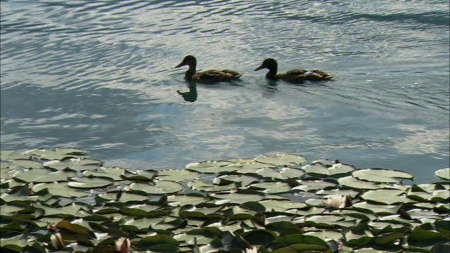 ms pan ducks swimming past water lilies in lake / bled, slovenia - lake bled stock videos & royalty-free footage