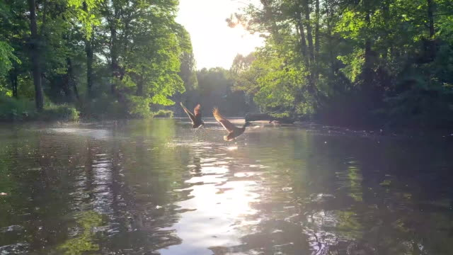 ducks taking off from the lake - pond stock videos & royalty-free footage