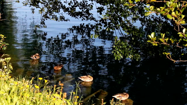 stockvideo's en b-roll-footage met ducks (hd) - vier dieren