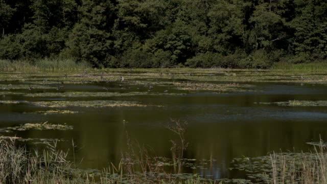 vidéos et rushes de ducks - canard oiseau aquatique