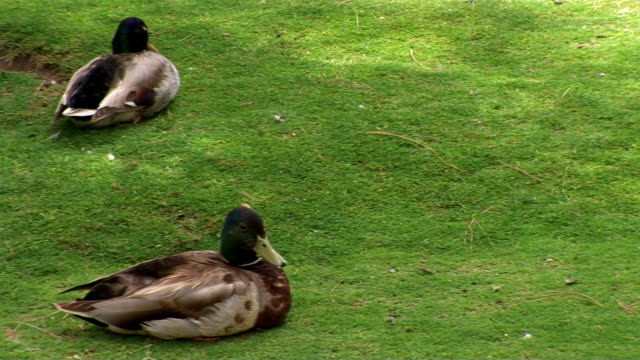 ducks - aquatic organism stock videos & royalty-free footage
