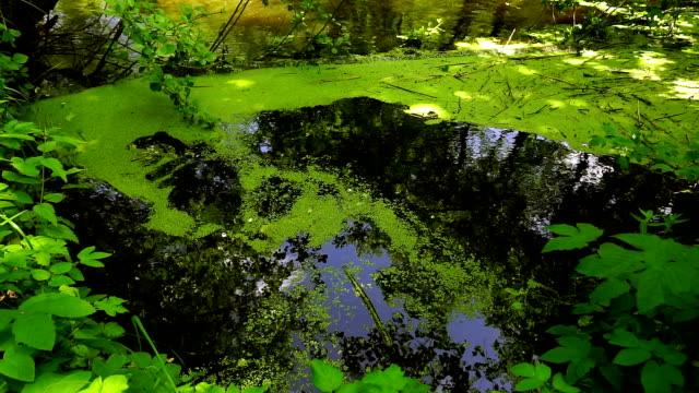 duckweed-Lemna L.