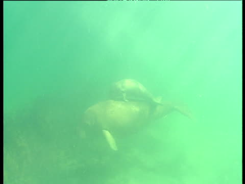 dugong and calf swim past, shark bay, western australia - dugongo video stock e b–roll