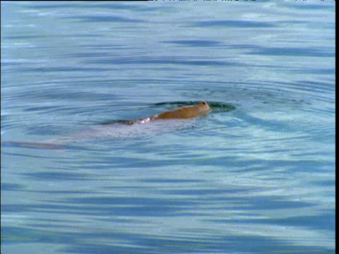 dugong at surface in shark bay, western australia - dugong stock-videos und b-roll-filmmaterial