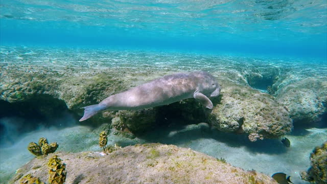 Dugong calf ( Sirenia ) in Red Sea near Marsa Alam