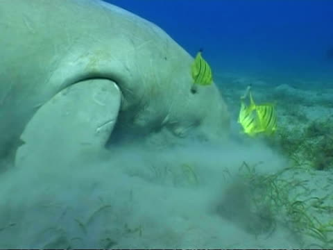 ms dugong, dugong dugon, foraging, side view, egypt, red sea - dugong stock videos & royalty-free footage